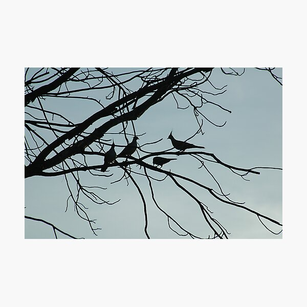 silhouetted crested pigeons Photographic Print