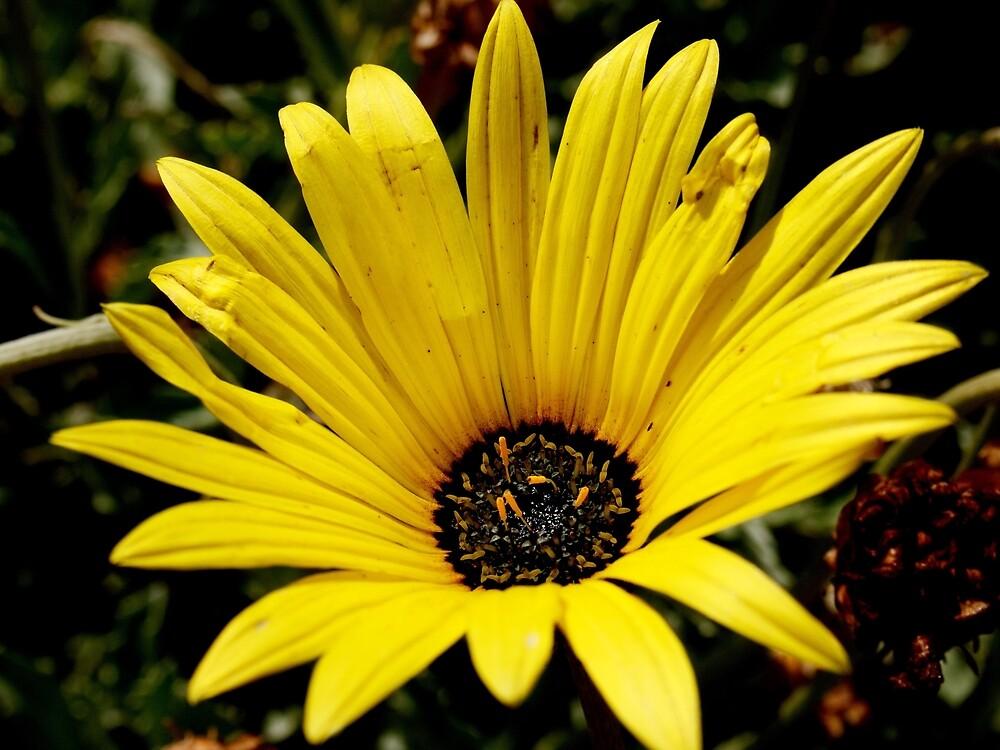 Yellow Gazania Flower from A Gardener's Notebook by Douglas E.  Welch