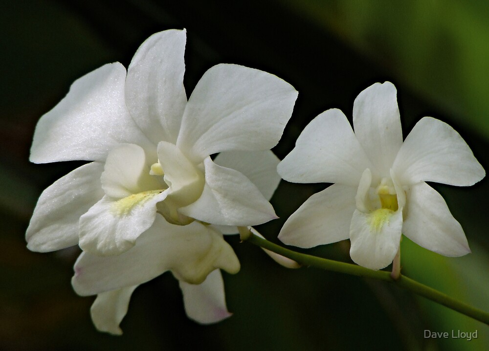White Orchids by Dave Lloyd