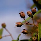 Ant on gum nut by indiafrank