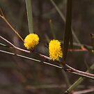 Australian Wild Flowers #9 by Paul Gilbert