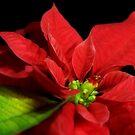 Christmas colors by jerry  alcantara