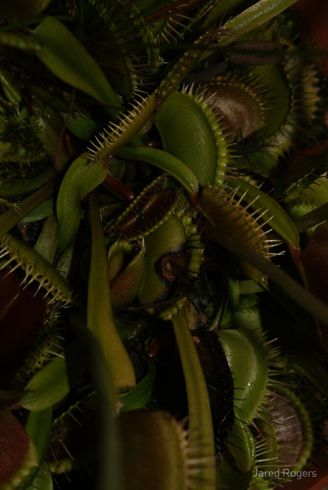 Fly Trap 2 by Jared Rogers