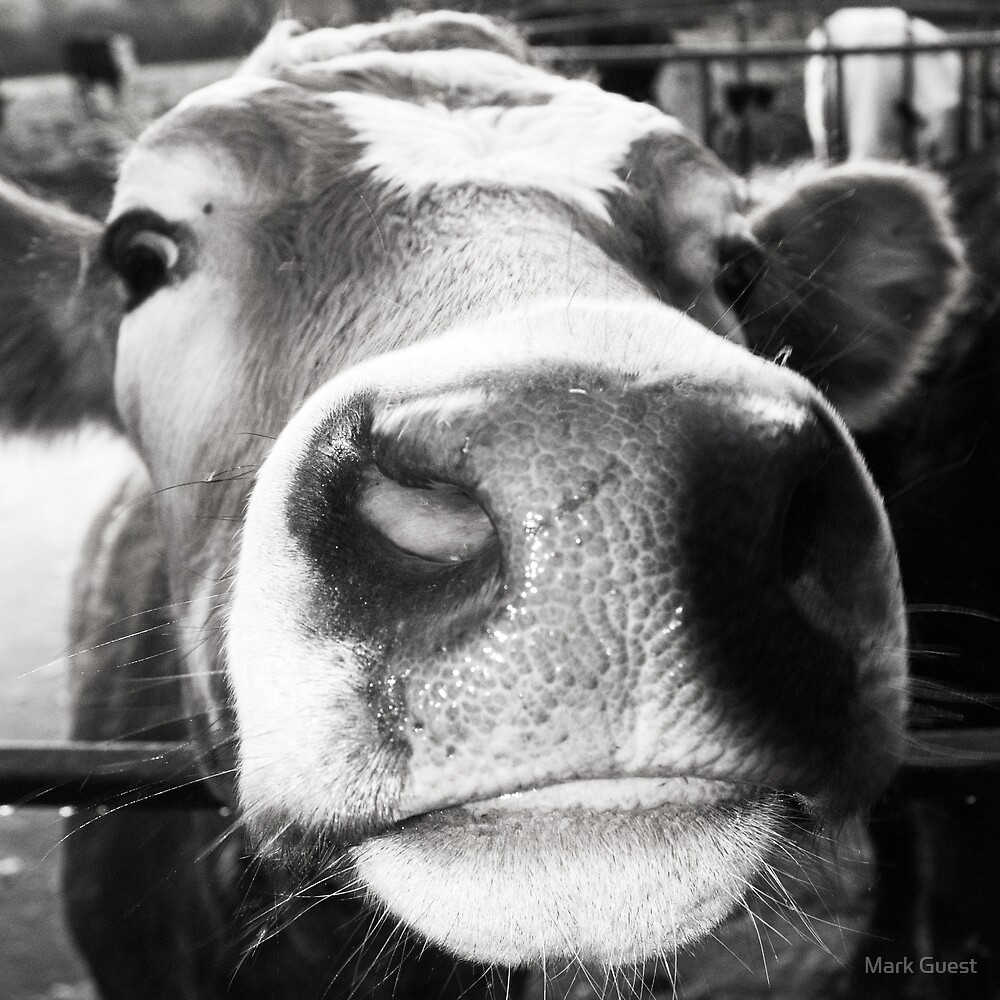 Cow Face by Mark Guest
