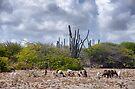 Goats on Bonaire by Kasia-D