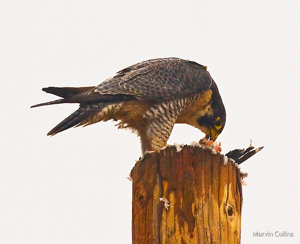 Peregrine Eating Breakfast by Marvin Collins