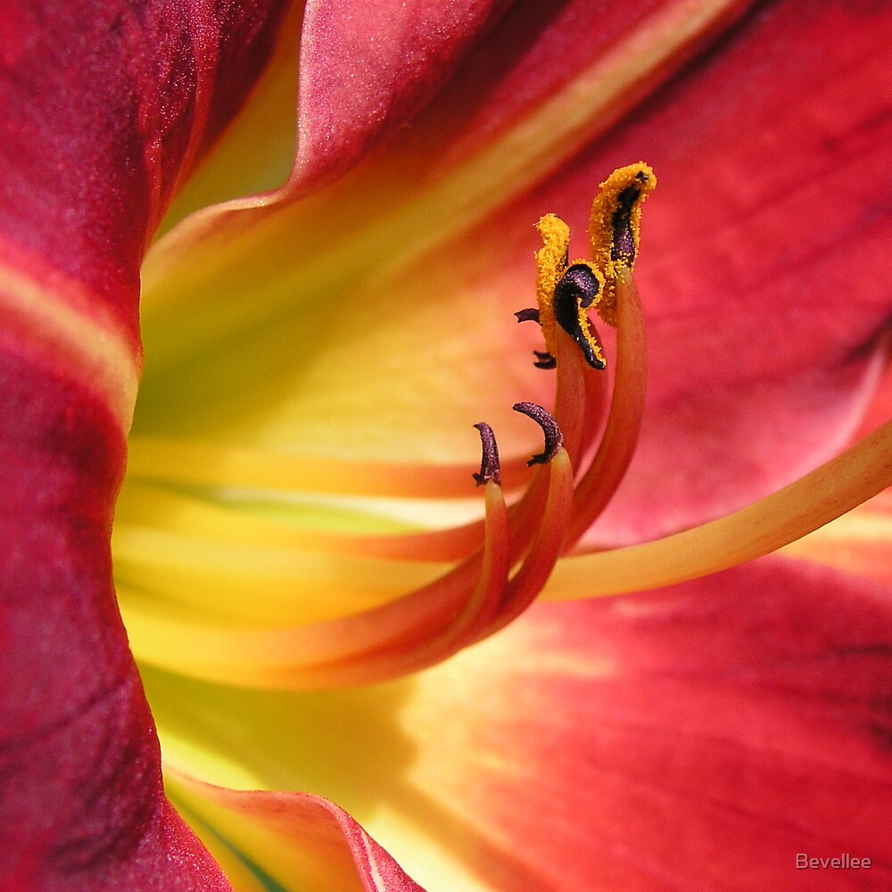 Day Lily by Bevellee