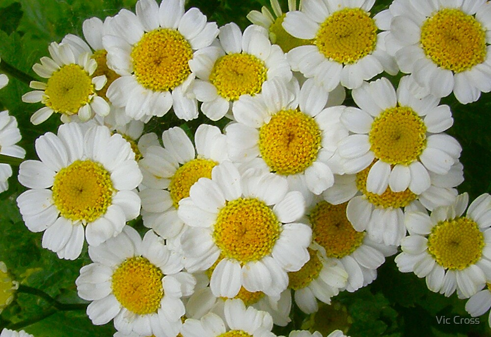 White Daisies by Vic Cross