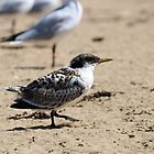 Young Tern by kalaryder