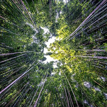 Maui Bamboo Forest by KristofferGlenn