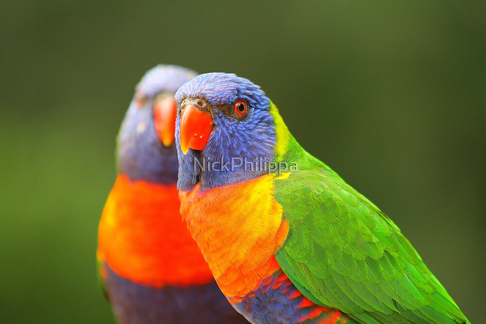 Rainbow Lorikeet by NickPhilippa