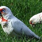 Little Corellas Foraging in the Grass by sienebrowne