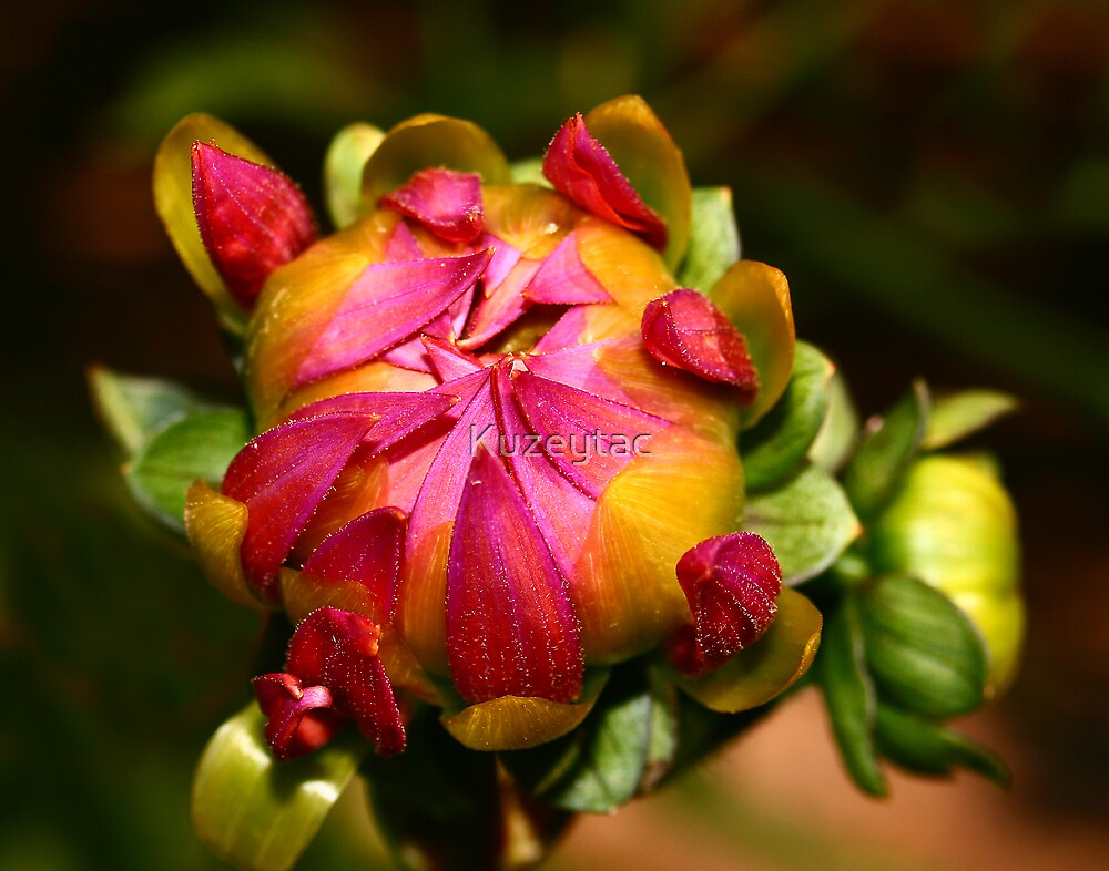 Summer Beauty, Dahlia Bud  by Kuzeytac
