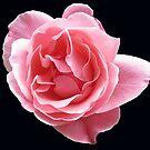 Leuchtende rosa Rose auf schwarzem Hintergrund von BlueMoonRose