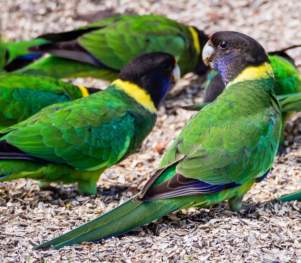 Australian ringneck parrots by numbathyal