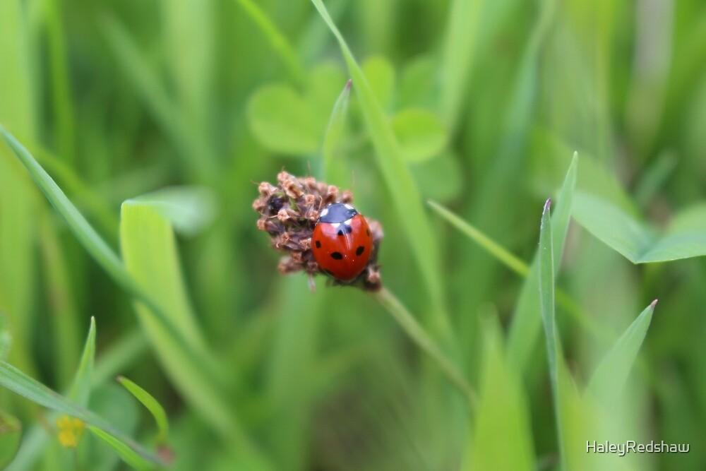 Ladybug by HaleyRedshaw