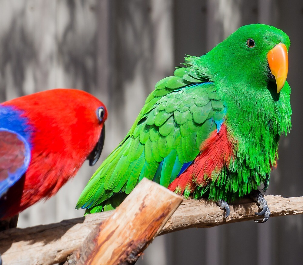 eclectus parrots by numbathyal