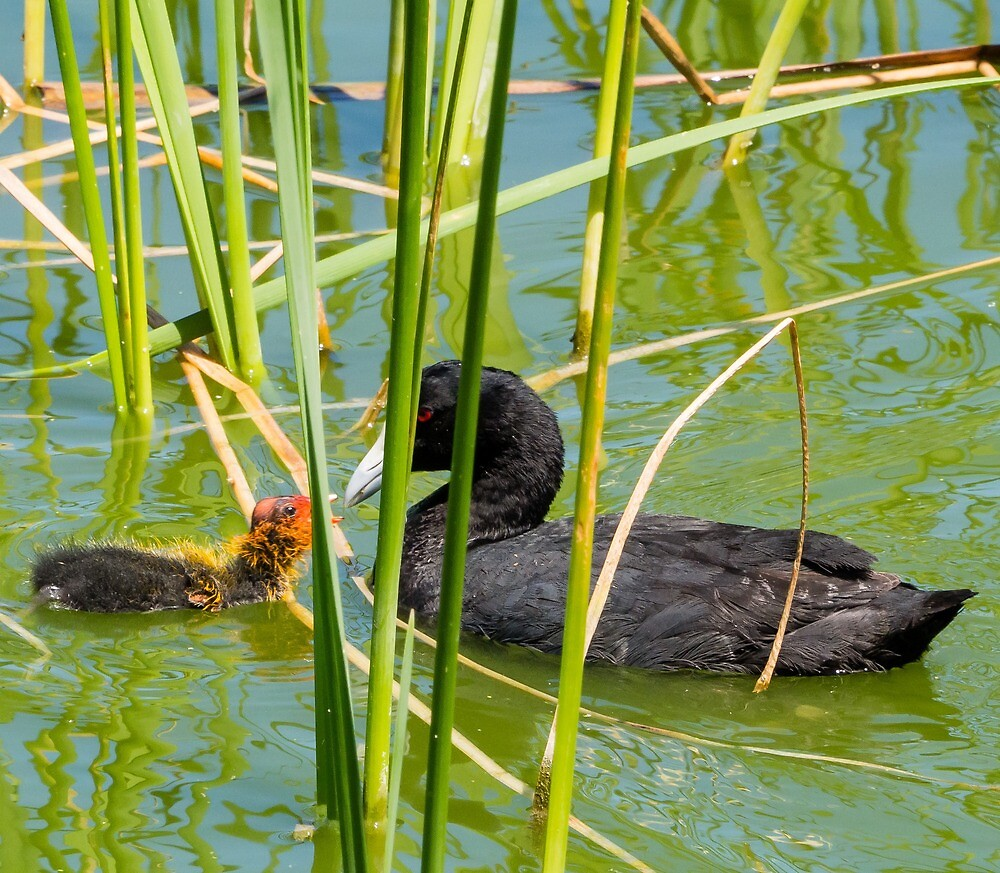 Eurasian coot by numbathyal