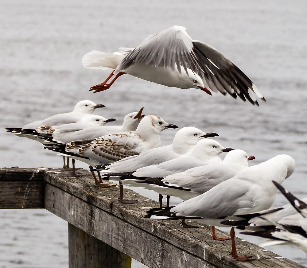 seagulls by numbathyal