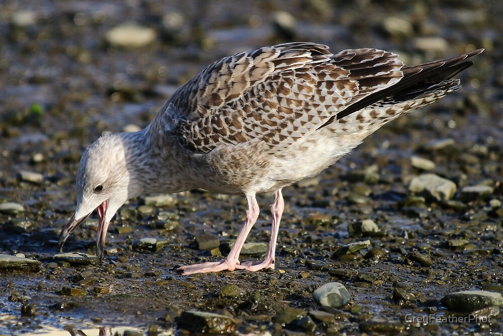 Juvenile Herring Gull by GreyFeatherPhot