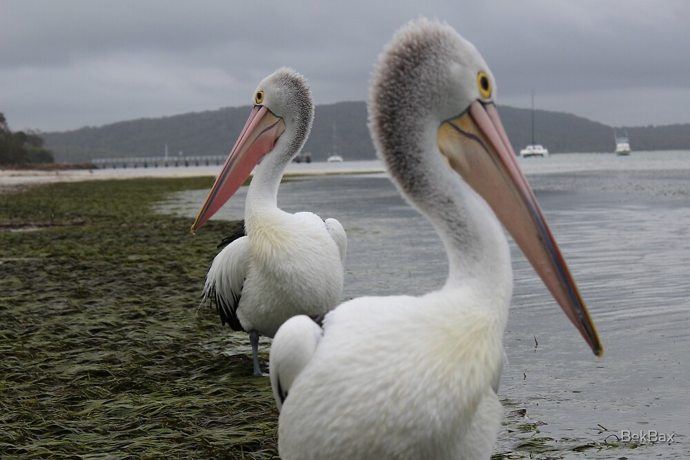 Pelican synchronicity by BekBax