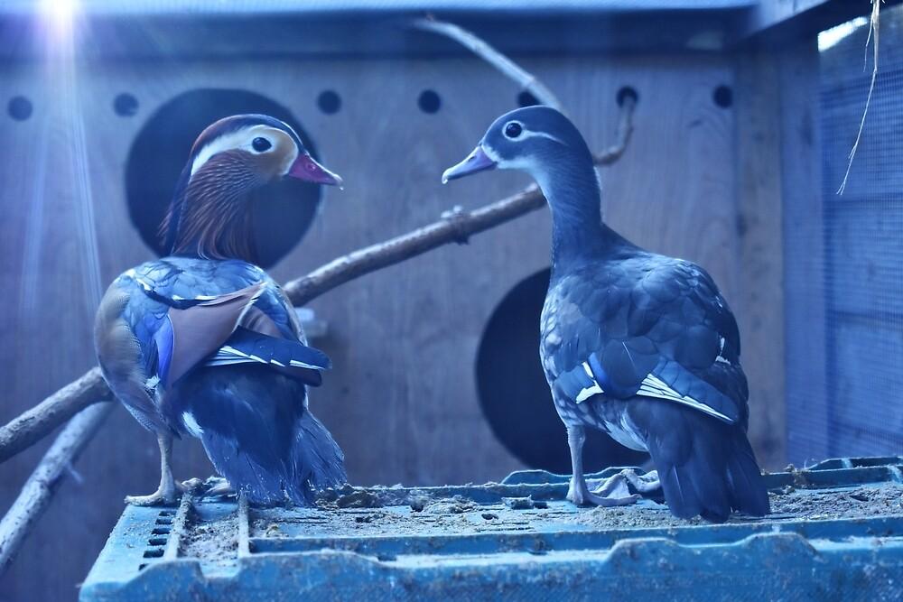 Ducks by morvenjamieson