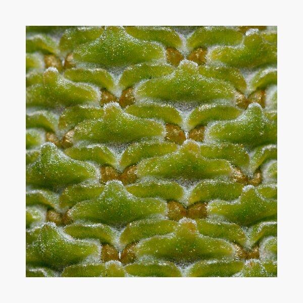 Banksia Macro Photographic Print