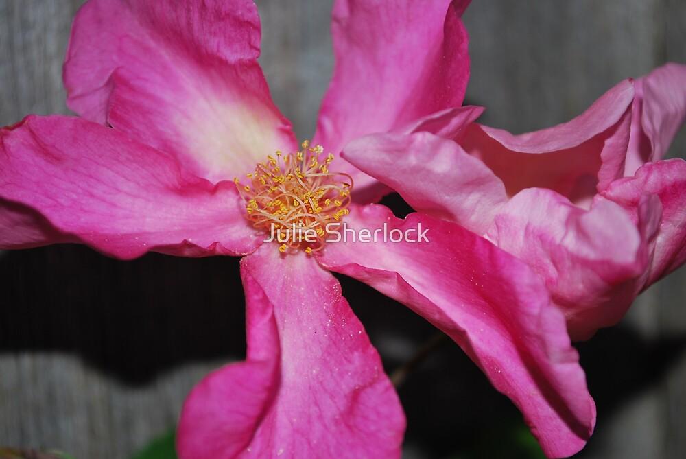 Rosa 'Mutabilis' by Julie Sherlock