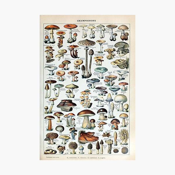 Vintage Edible Mushroom Chart Photographic Print