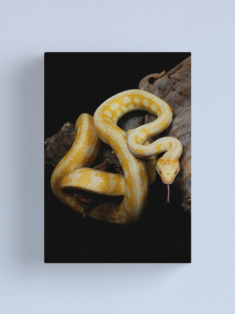 Alternate view of Albino Northern Territory Carpet Python [Morelia spilota variegata] Canvas Print