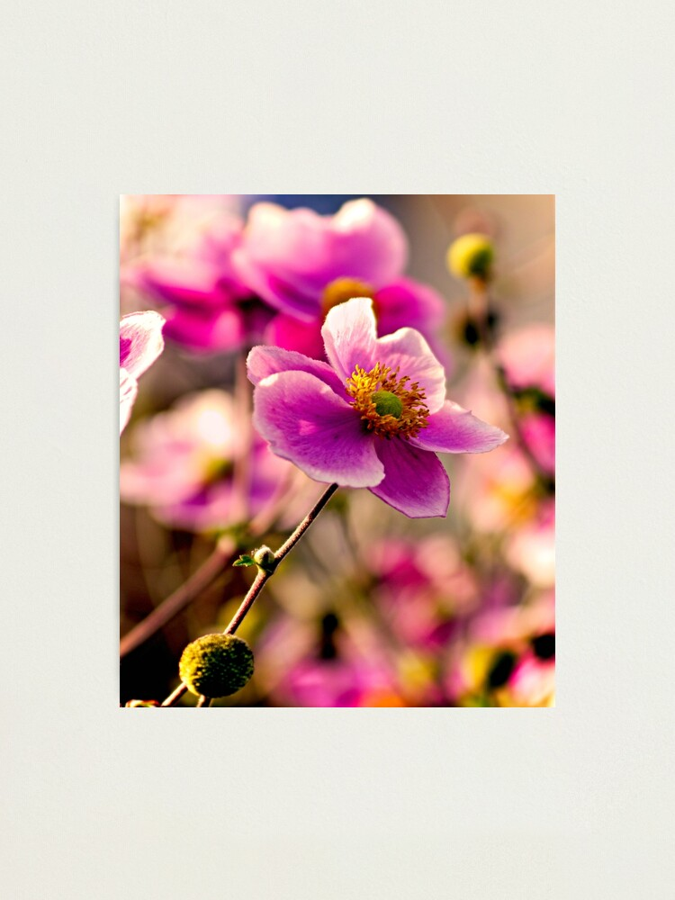 Alternate view of Japanese Anemone Photographic Print