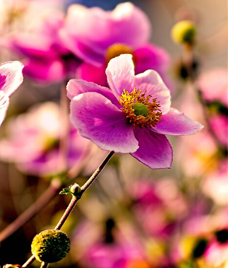 Japanese Anemone by ScenicViewPics