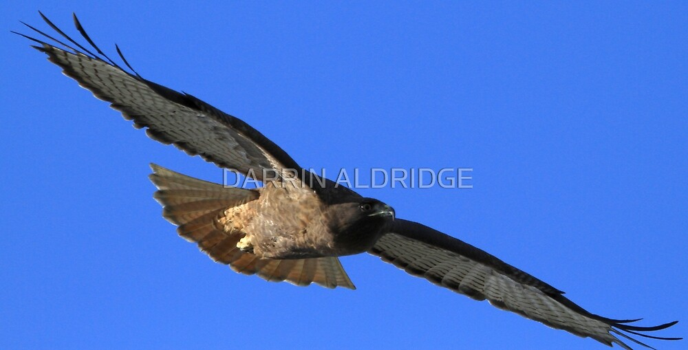 Rare Red Tail Shows It's Wingspan by DARRIN ALDRIDGE