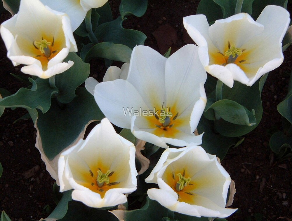 White Tulips by WaleskaL