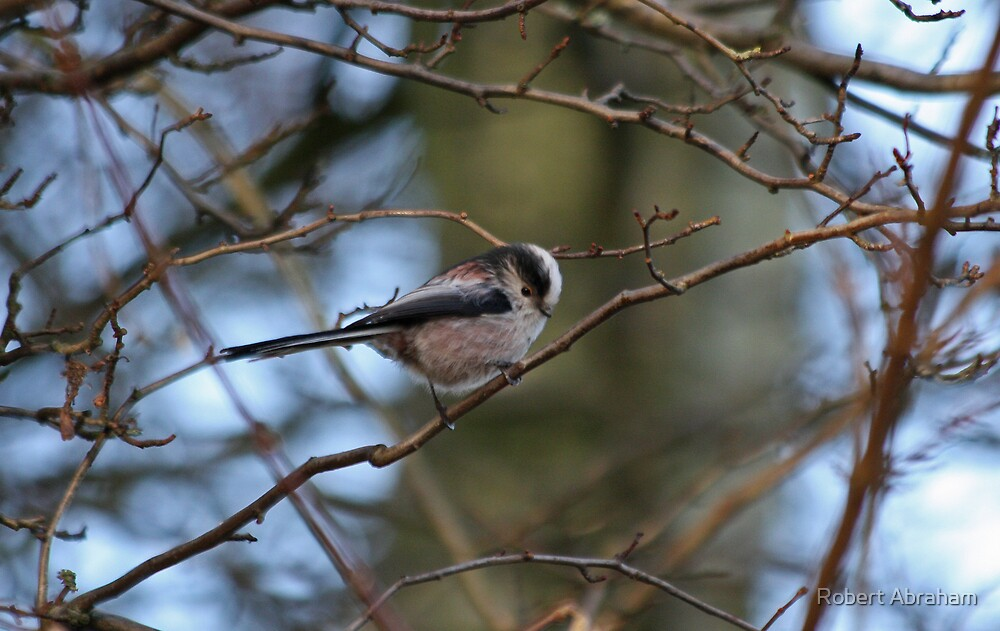Long-Tailed Titmouse 3 by Robert Abraham
