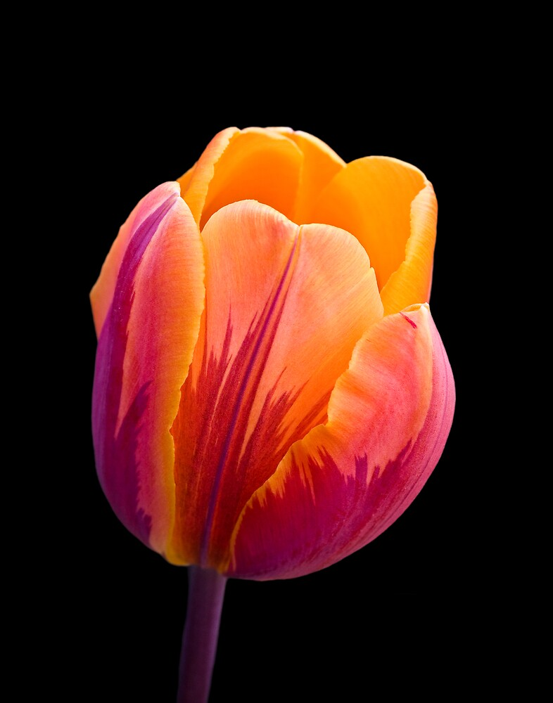 Orange tulip by DavidHoefer