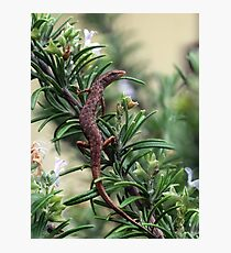Clever Skink Photographic Print