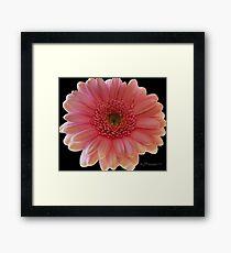 Pink Gerber Framed Print