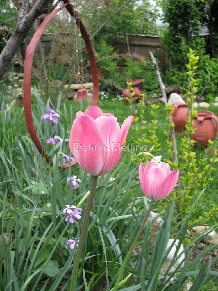 Pink Tulips in Romania - tulipa the headdress by Dennis Melling