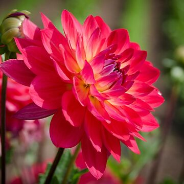 Dahlia Flower by CarolynEaton