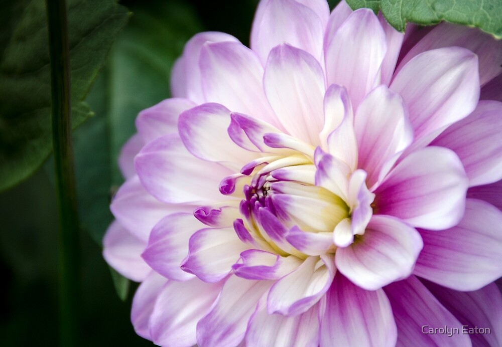 Soft Purple and White Dahlia by Carolyn Eaton