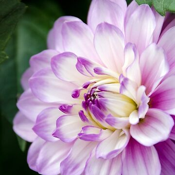 Soft Purple and White Dahlia by CarolynEaton
