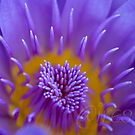 Water lily abstract by Iris MacKenzie