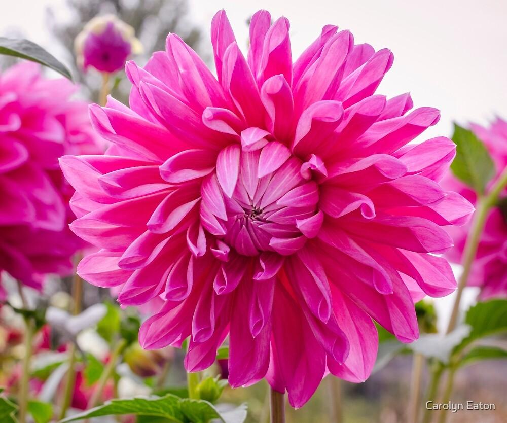 Pink Dahlia by Carolyn Eaton