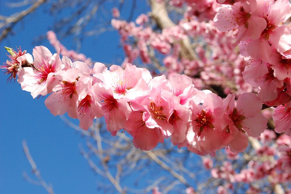 Blossom Spear by Gary Shepherd