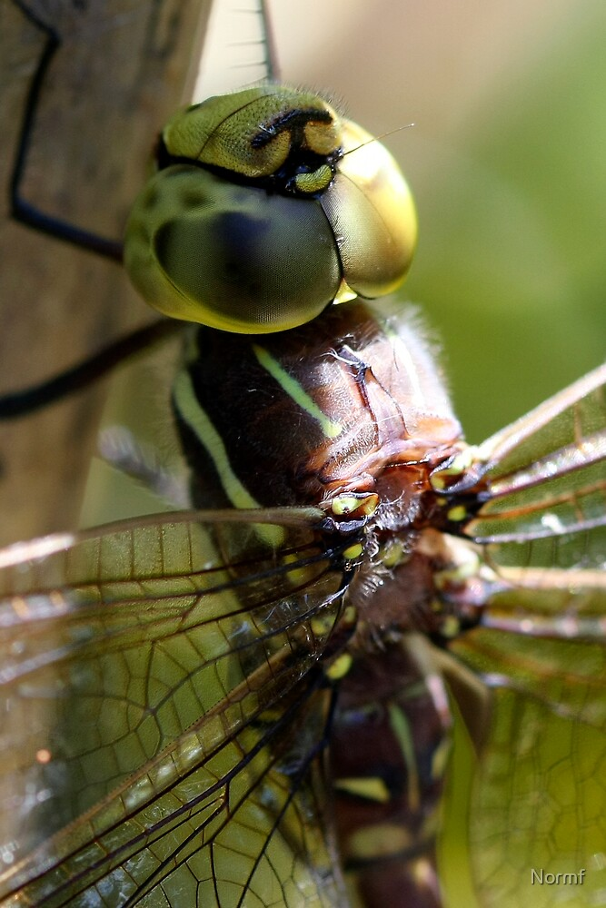DragonFly Macro by Normf