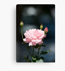 Like a rose Canvas Print