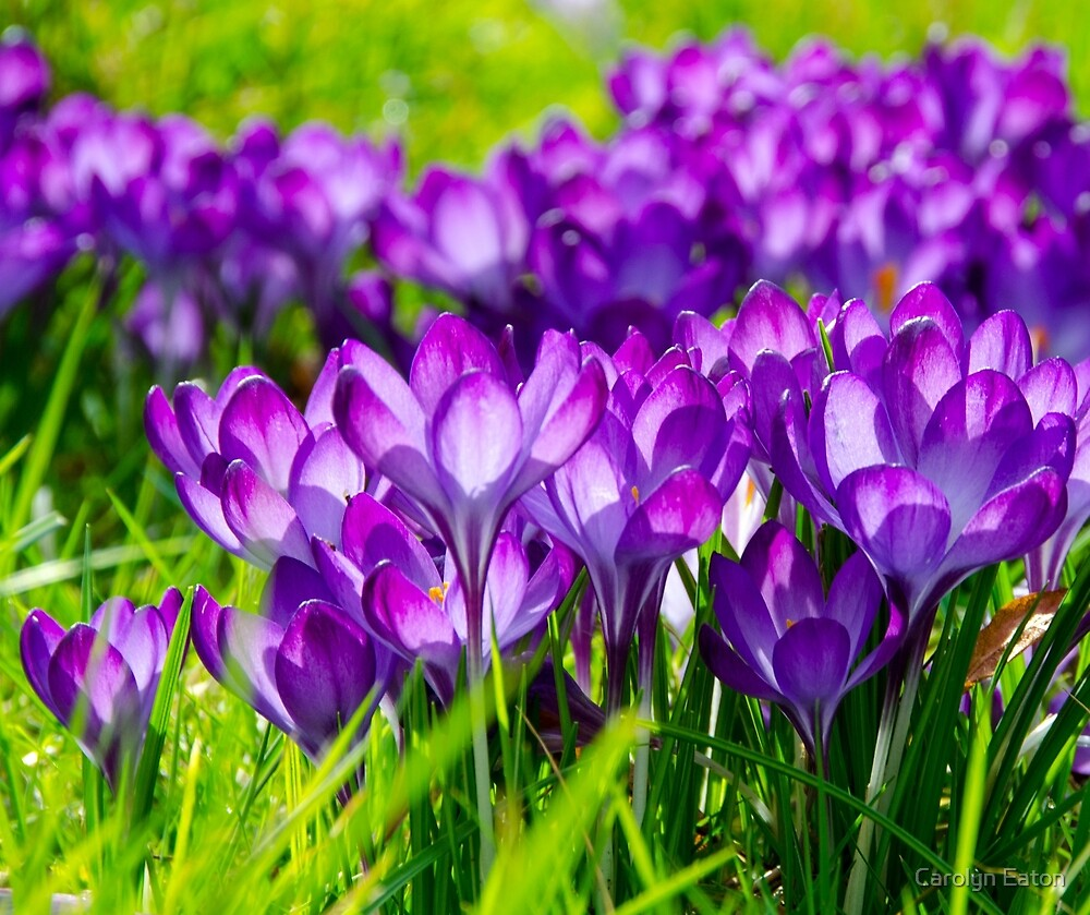 Purple Crocus by Carolyn Eaton
