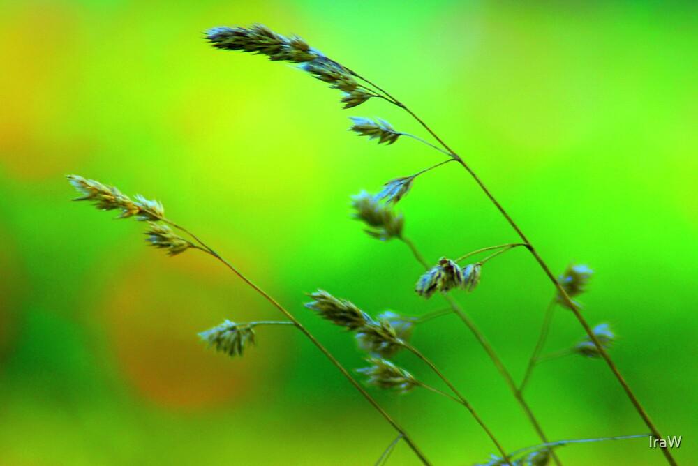 Wheat by IraW