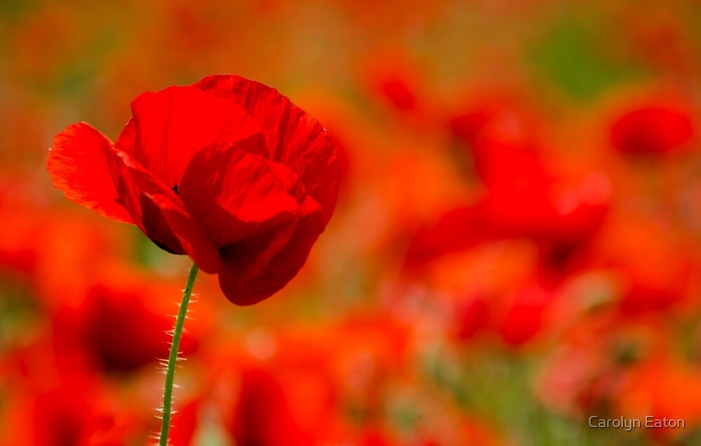 Poppy by Carolyn Eaton